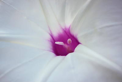 Photograph - Ipomoea by JD Grimes
