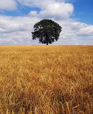 Ethereal - Ireland, Barley Field With Oak Tree by The Irish Image Collection