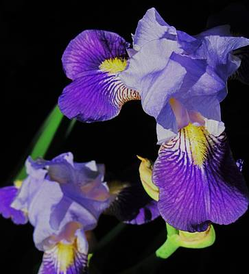 Photograph - Iris-13 by Todd Sherlock