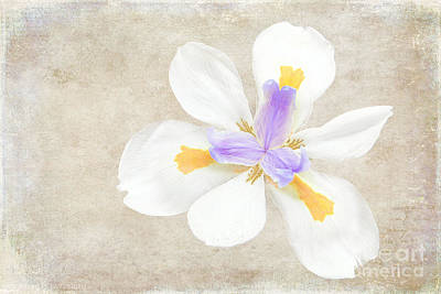 Photograph - Iris Calling by Diane Enright