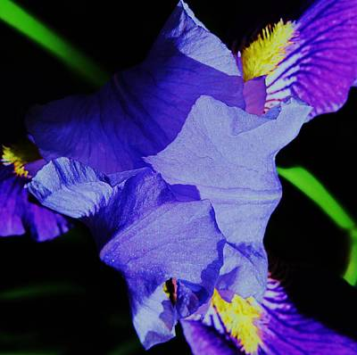 Photograph - Iris Delight by Todd Sherlock