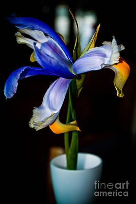 Photograph - Iris by Jill Smith