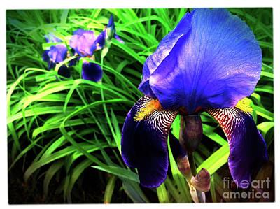 Photograph - Iris by Kevyn Bashore