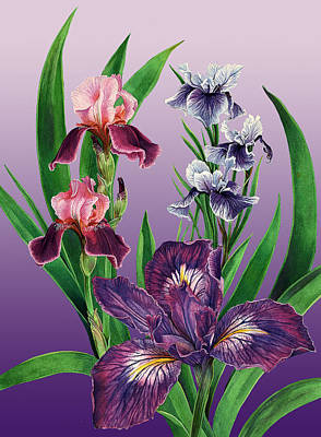 Iris On Purple Art Print