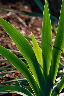 Iris Plant In Sunset Art Print by Douglas Barnett