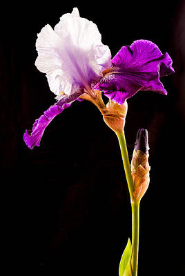 Photograph - Purple Bearded Iris Profile by Jean Noren
