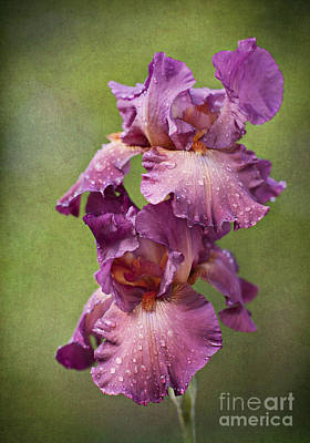 Photograph - Iris With Raindrops by Cheryl Davis
