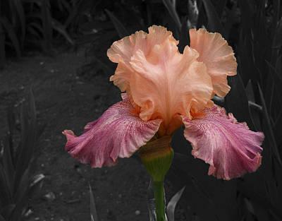 Photograph - Iris2 by David Pantuso