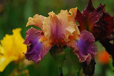 Irises In Indiana Art Print