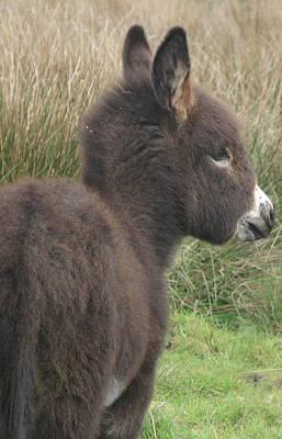 Irish Donkey Foal Art Print by Joseph Doyle