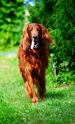 Gun Dog Photograph - Irish Setter V by Jenny Rainbow