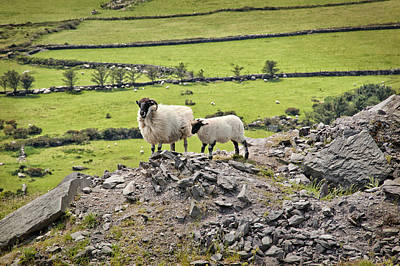 Photograph - Irish Sheep by Cheryl Davis