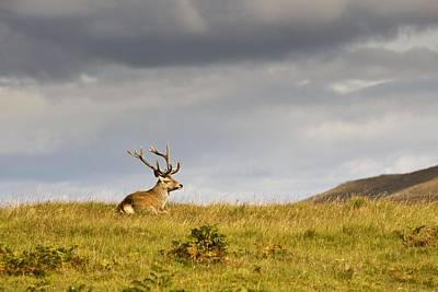 Islay Photograph - Island Of Islay, Scotland Buck Resting by John Short