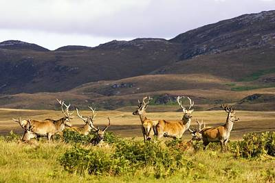 Islay Photograph - Island Of Islay, Scotland Male Deer by John Short