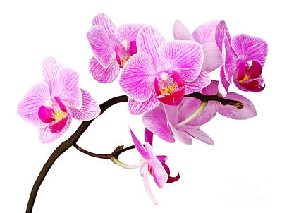 Photograph - Isolated Orchid by Gualtiero Boffi