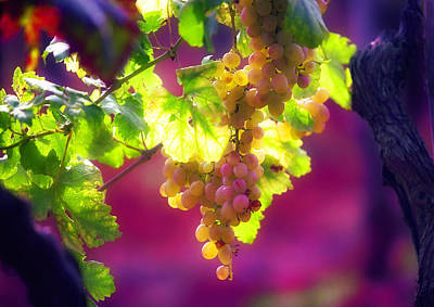 Photograph - Istrian Grapes-rovinj by John Galbo