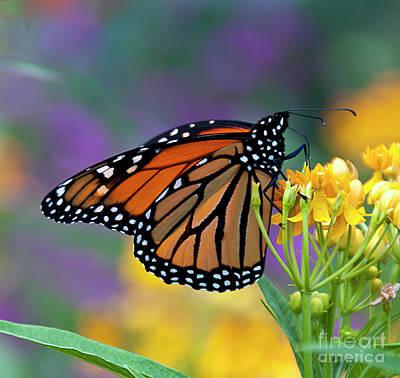 Monarch Photograph - It's Time by Maria Aiello