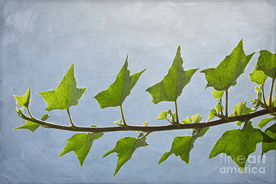 Photograph - Ivy To The Left by Diane Enright