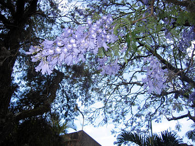 Photograph - Jacaranda Blue Lace by Sarah Hornsby