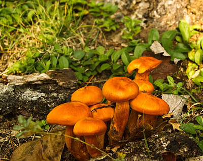 Olantern Photograph - Jack Olantern Mushrooms 7 by Douglas Barnett