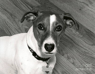 Photograph - Jack Russell Terrier by Mary Capriole