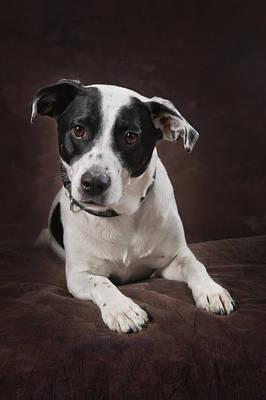 Jack Russell Terrier On A Brown Studio Art Print by Corey Hochachka