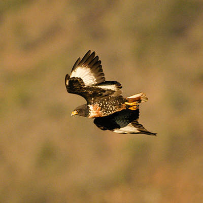 Photograph - Jackal Buzzard Flight by Alistair Lyne