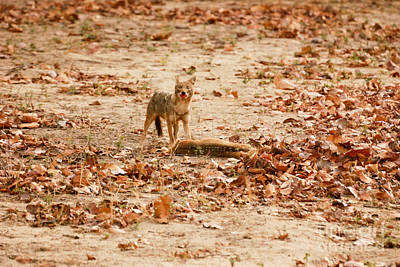 Art Print featuring the photograph Jackal Standing Over Deer Kill by Fotosas Photography