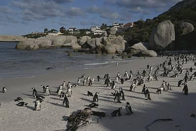 Jackass Penguins Strut For Tourists Art Print