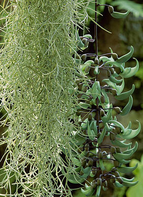 Jade Vine Photograph - Jade Vine (strongylodon Macrobotrys) And Spanish Moss (tillandsia Usneoides) by Suzie Gibbons