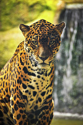 Photograph - Jaguar  by Harry Spitz