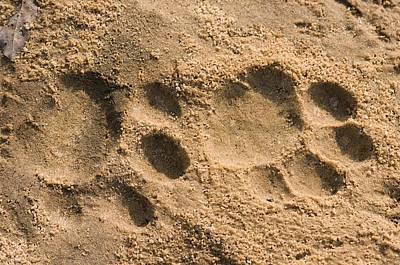 Jaguar Animal Photograph - Jaguar Tracks by Tony Camacho