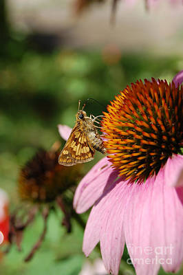 Photograph - jammer Echinacea and Moth by First Star Art