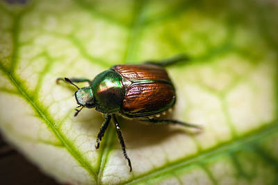 Photograph - Japanese Beetle II by Gene Hilton