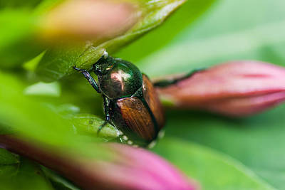 Photograph - Japanese Beetle IIi by Gene Hilton