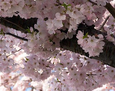 Photograph - Japanese Cherry Blossom Chiffon Ds011 by Gerry Gantt