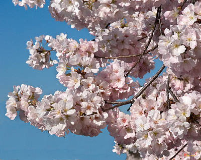 Photograph - Japanese Cherry Blossoms Ds020 by Gerry Gantt