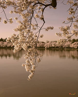 Photograph - Japanese Cherry Tree Blossoms Over The Tidal Basin In Sepia Ds019s by Gerry Gantt