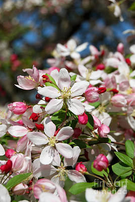 Photograph - Japanese Crabapple Tree Flower by Eva Kaufman