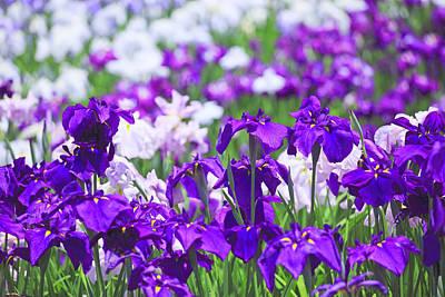 Close Focus Nature Scene Photograph - Japanese Iris Flowers In Field by Imagewerks