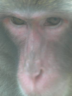 Photograph - Japanese Macaque 2 by Jeffrey Peterson
