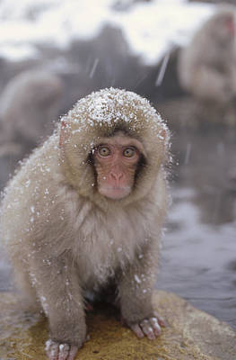 Photograph - Japanese Macaque Macaca Fuscata In Hot by Konrad Wothe