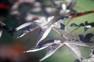 Photograph - Japanese Maple 1 by Douglas Pike