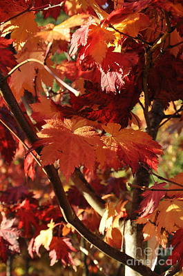 Autumn Photograph - Japanese Maple 1 by Tanya  Searcy