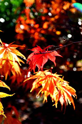 Autumn Photograph - Japanese Maple 4 by Tanya  Searcy