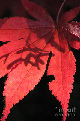 Photograph - Japanese Maple by Frank Townsley