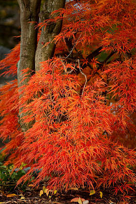 Photograph - Japanese Maple In Autumn by  Onyonet  Photo Studios