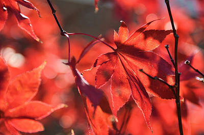 Photograph - Japanese Red Maple by Jan Amiss Photography