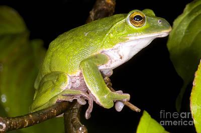 Rhacophorus Photograph - Japanese Rhacophoprid Frog by Dante Fenolio