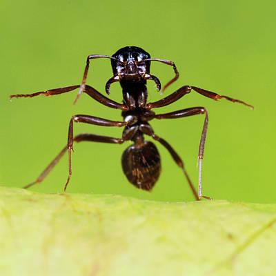 Ant Photograph - Japanese Slave-making Ant Polyergus by Satoshi Kuribayashi